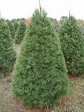 White Pine.jpg