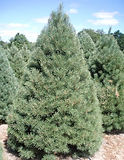 Scotch Pine.jpg