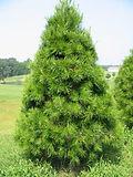 Virginia Pine.jpg