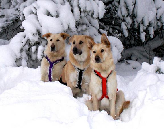 Harnessdogs
