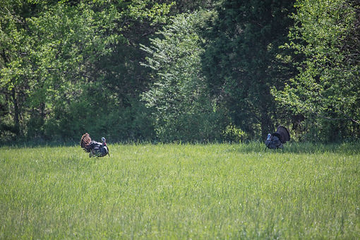 Kentucky Turkey Hunting Outfitter, Guided Kentucky Turkey Hunts