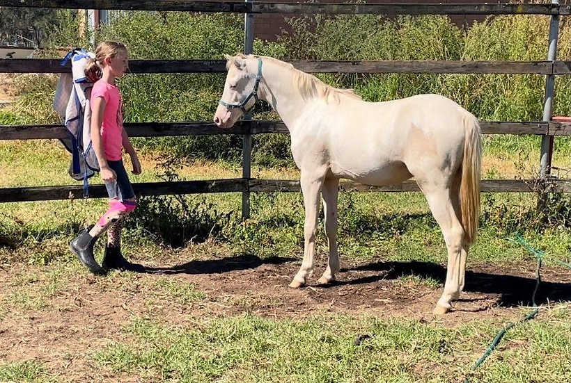 EARLSLEY PARK BILLIONAIRE - Australian Pony Colt