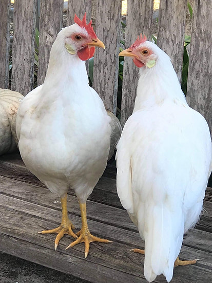 2 WHITE LEGHORN PULLETS