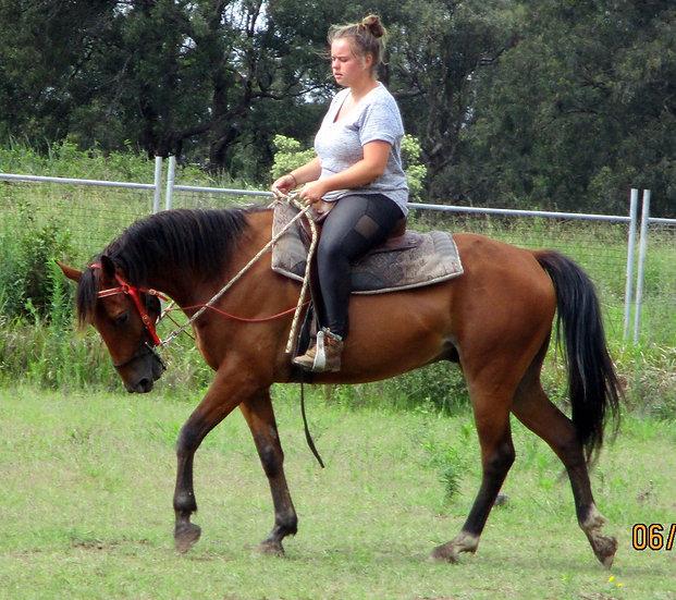 BROCK - QH x Stock Horse Gelding