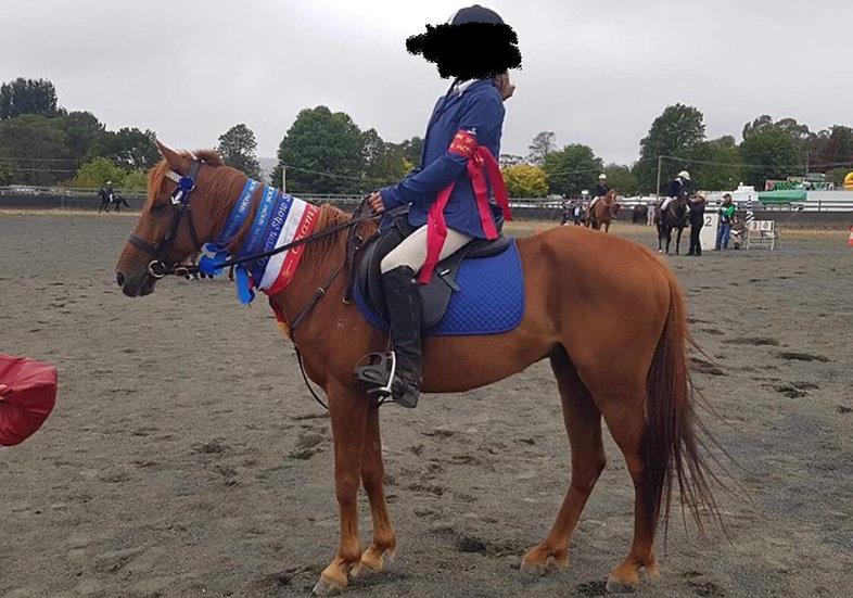 PEANUT - Arabian Riding Pony Gelding
