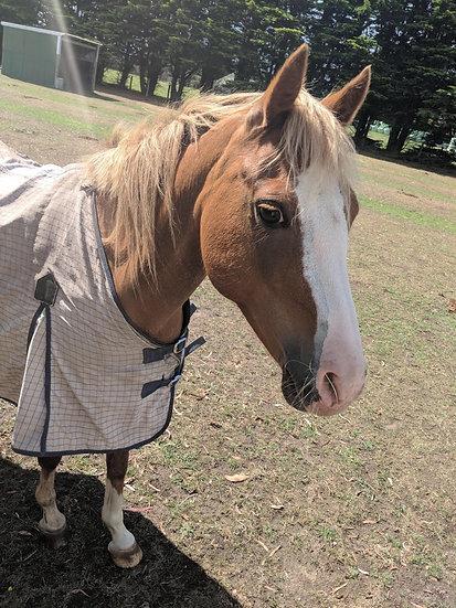 CLOVER - Pony Mare