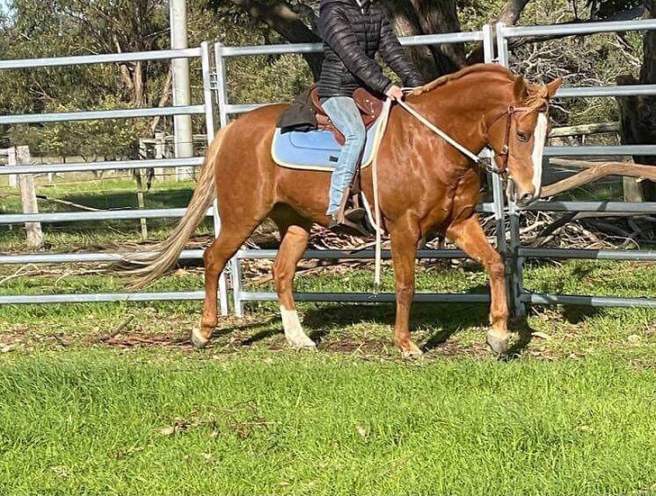 BONNIE - Stock Horse x QH Mare