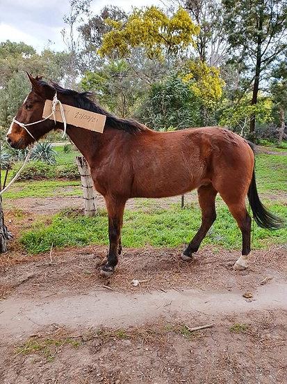 SPUD - QH x Stock Horse Gelding