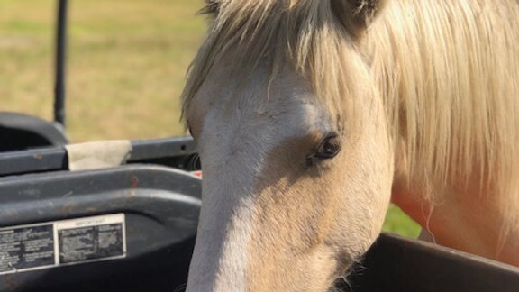 CHAMPION - German Riding Pony Colt