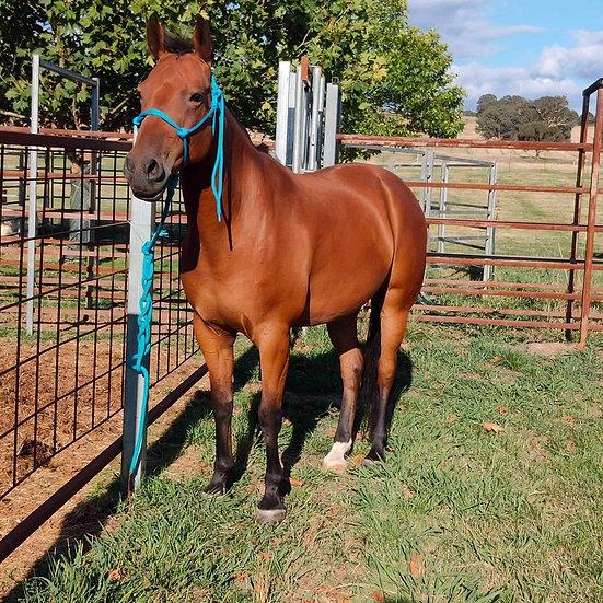 MATE - QH x Stock Horse Gelding