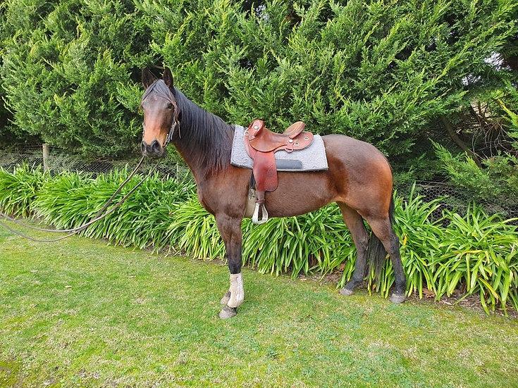 DAPHNE  DAISY - Stock Horse Mare