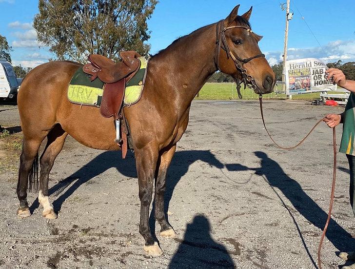 PICKLES - QH X STOCK HORSE GELDING