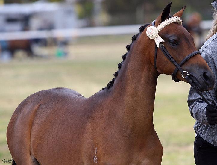 TAMARINDA ALICE IN WONDERLAND - Australian Pony Filly