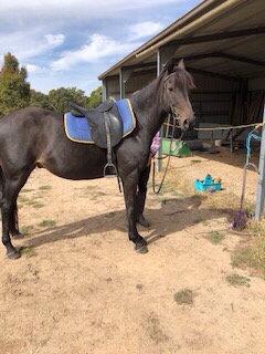 ROCKY  TB x Riding Pony Gelding