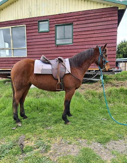 MELODY - Stock Horse Mare