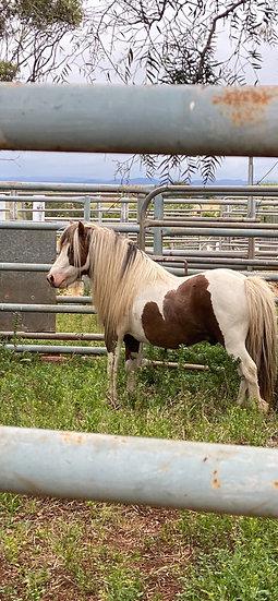 LOVER BOY - Shetland Stallion