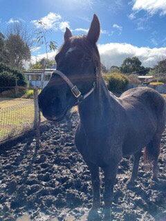 ROSE - Friesian x Stock Horse Mare