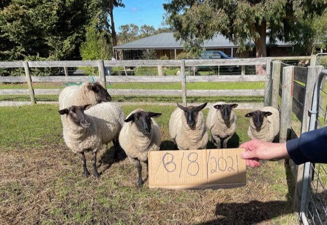6 Black Faced Suffolk Sheep