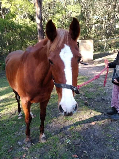 VIXIE - Anglo x ASH/Paint Mare