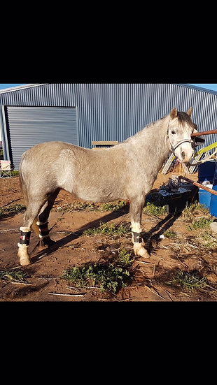 DOLLY - Welsh A Mare