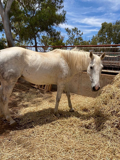LOU GIRL - QH x Stock Horse Mare