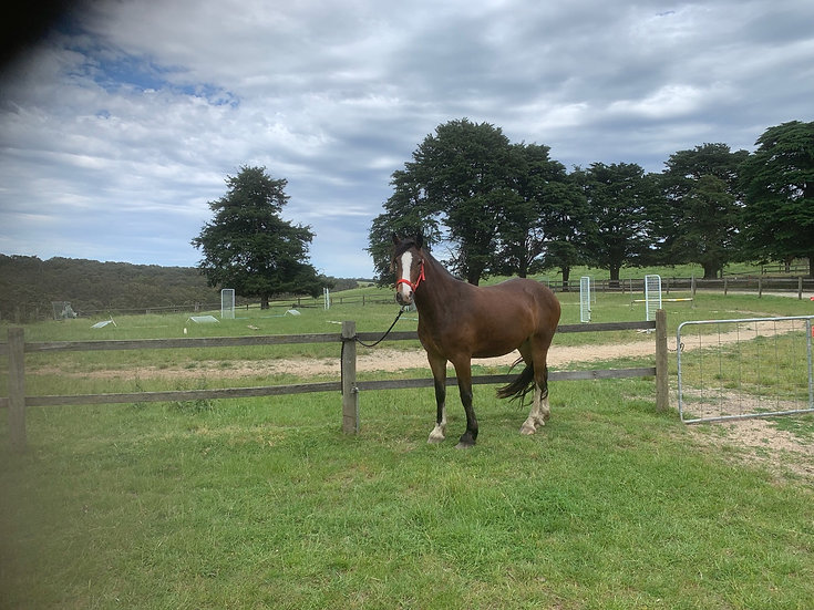 WHISKEY - Clydesdale x Gelding