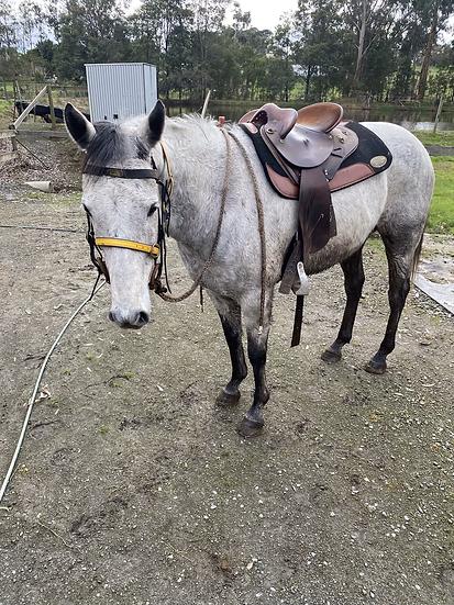 BLUEY - QH x Stock Horse Gelding