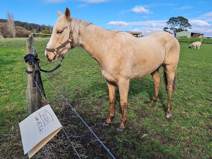 TEDDY - Stock Horse  Gelding