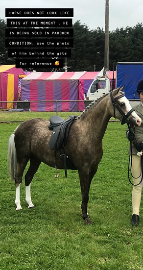 A KNIGHT IN SHINY ARMOUR - Welsh B Gelding