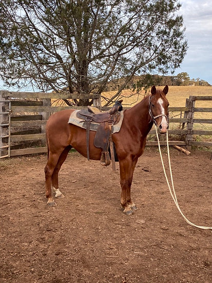 BUDDY - Stock Horse Gelding