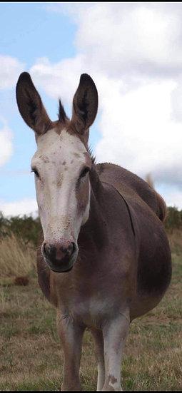 MONTANA - Jenny Donkey & Colt Foal