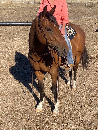 MALCOLM - QH x Stock Horse Gelding