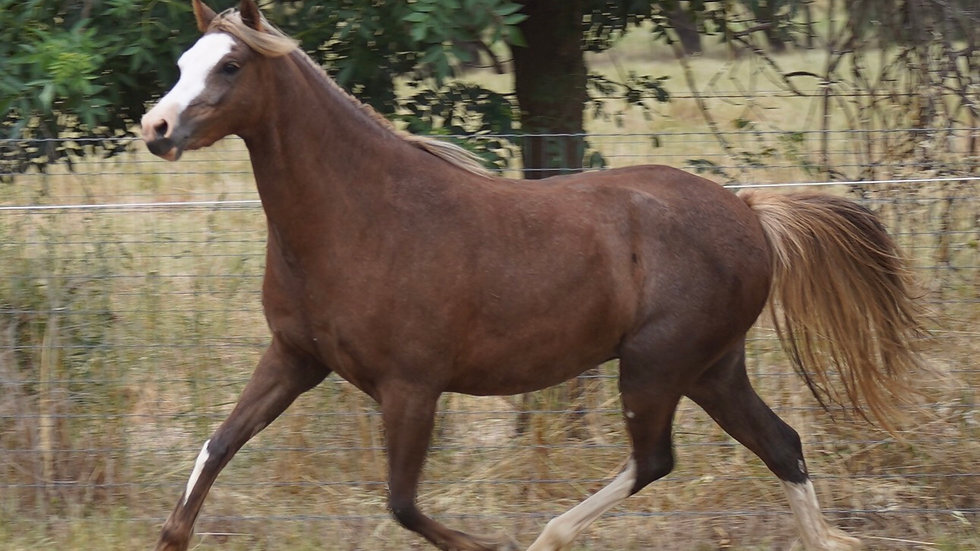 IMPERIAL PRISCA - Welsh B Filly