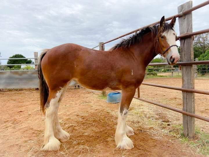 MIA - Clydesdale Filly
