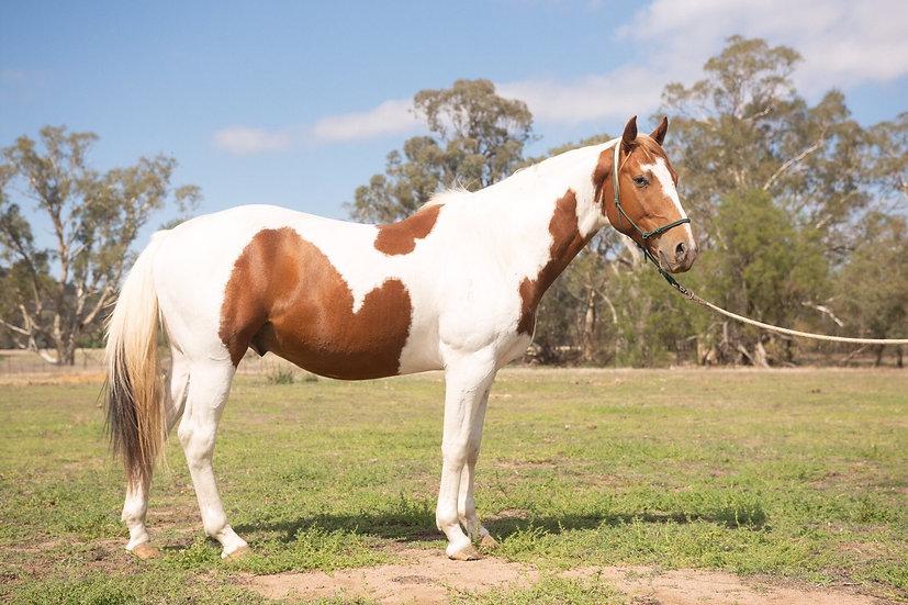 COLESLEA RADIANT - ASH Stallion