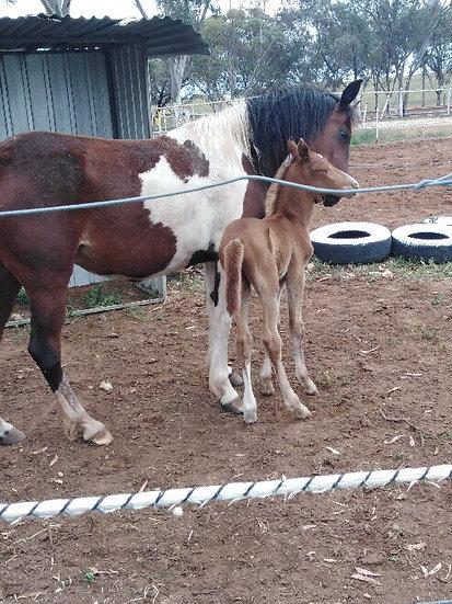SAPPHIRE & BUCK - Paint Mare & Colt Foal