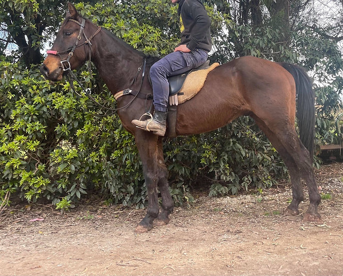 GERONIMO - Stock Horse x Gelding