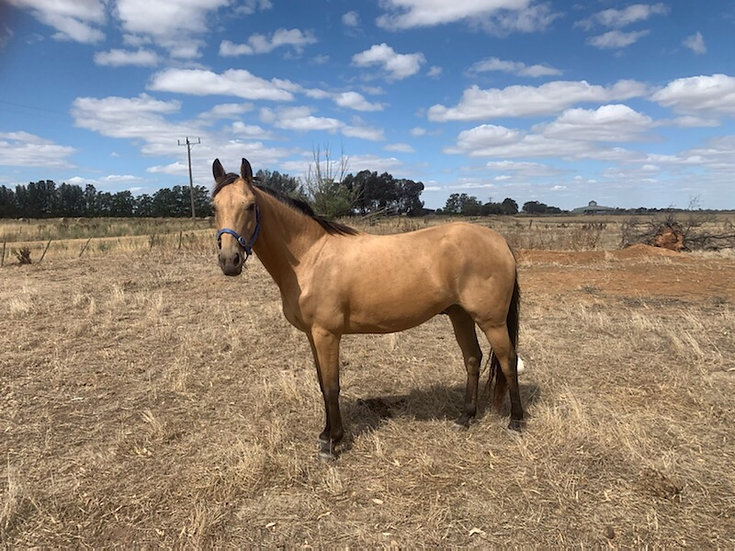 RIP - Stock Horse Gelding