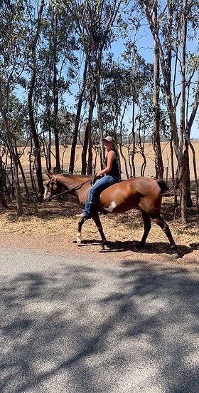 BEAVER - Stock Horse Gelding