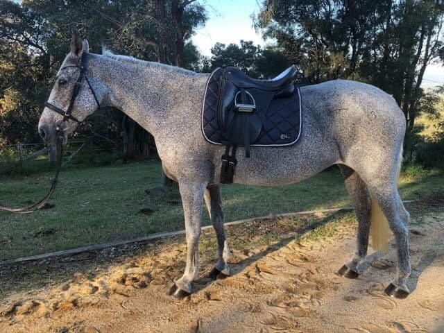 LA VITA e BELLA - Irish Sport Horse Mare