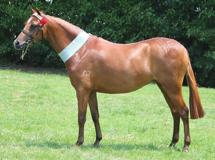 ASCOT ROSE MARIE -Part Welsh Mare