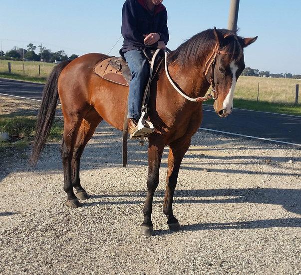 Stock Horse x Gelding