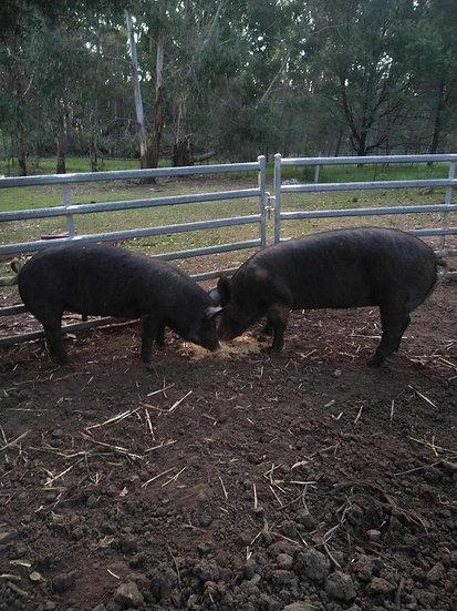 SIA & KISSES - 2 Female Berkshire Pigs