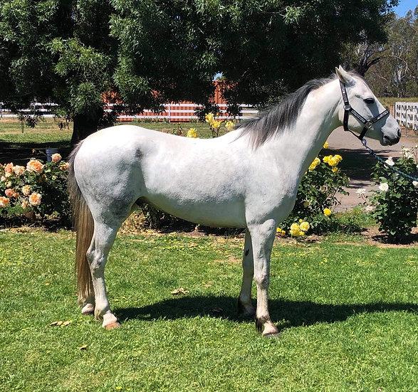 LAKEVALE KARTOON - Australian pony Gelding