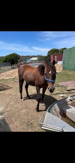 SAPPHIRE - Riding Pony Mare