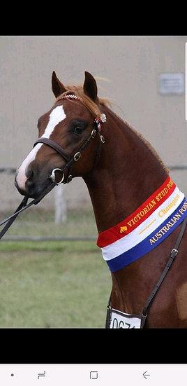 KOOYONG EQUALITY YES - Australian Pony Colt