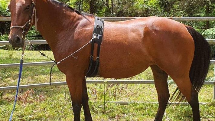 SHILOH - Stock Horse Mare