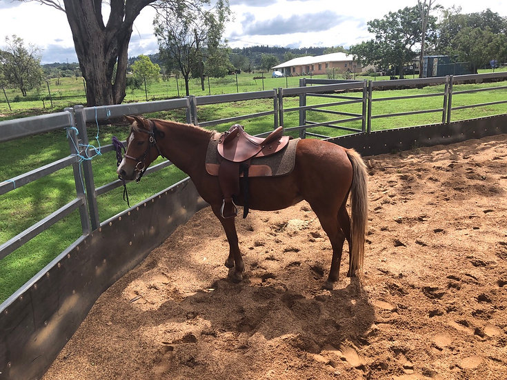 LILLY - Welsh x Arab Mare