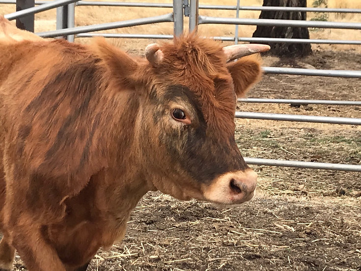 BERYL - Scottish Highland x Jersey Heifer