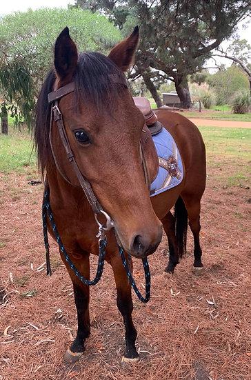 LILY - Australian Riding Pony Mare